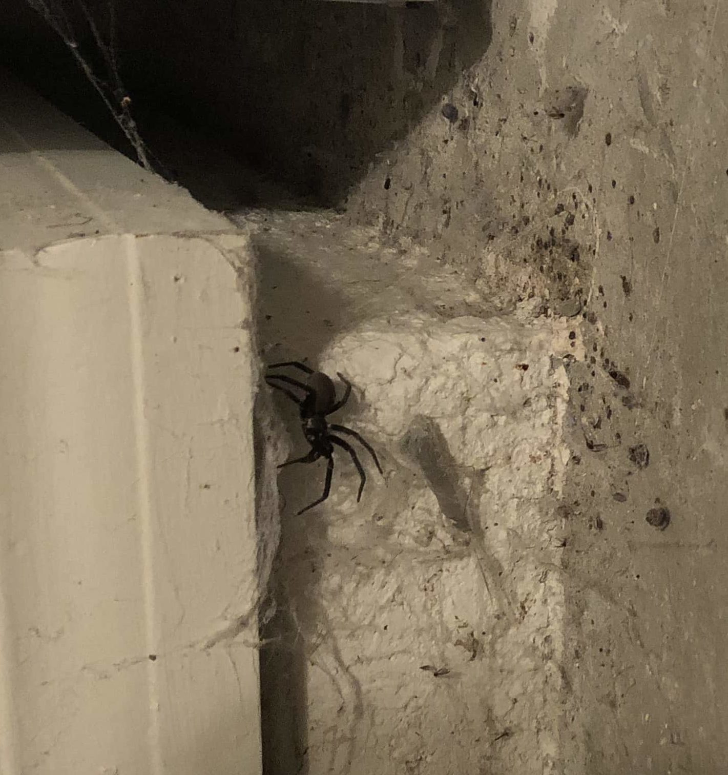 Picture of Kukulcania hibernalis (Southern House Spider) - Female - Lateral,Webs