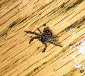 Picture of Bassaniana spp. (Bark Crab Spiders) - Dorsal