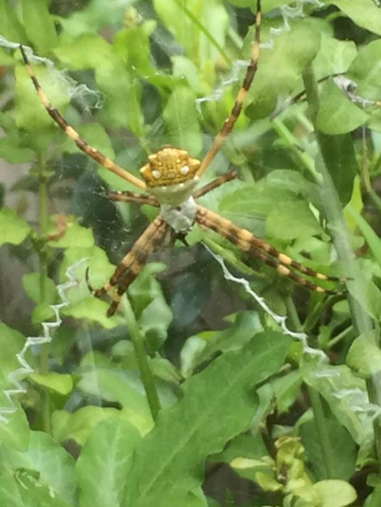 Picture of Argiope argentata (Silver Garden Spider) - Female - Dorsal,Webs