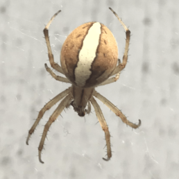 Featured spider picture of Neoscona theisi
