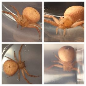 Picture of Xysticus spp. (Ground Crab Spiders) - Dorsal,Ventral