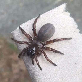 Picture of Myrmekiaphila spp. (Wafer-lid Trapdoor Spiders) - Female - Dorsal