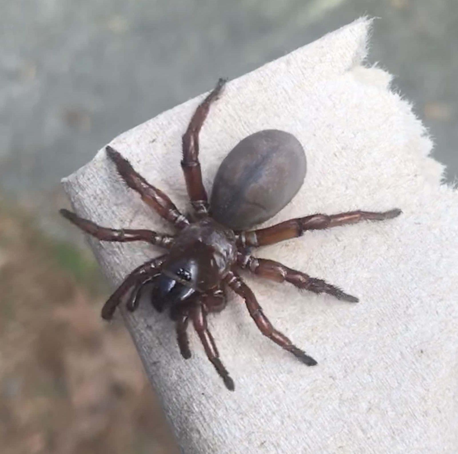 Picture of Myrmekiaphila (Wafer-lid Trapdoor Spiders) - Female - Dorsal
