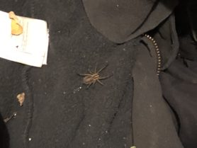 Picture of Agelenidae (Funnel Weavers) - Dorsal