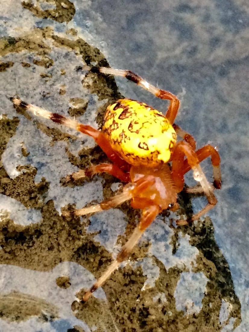 Picture of Araneus marmoreus (Marbled Orb-weaver) - Lateral