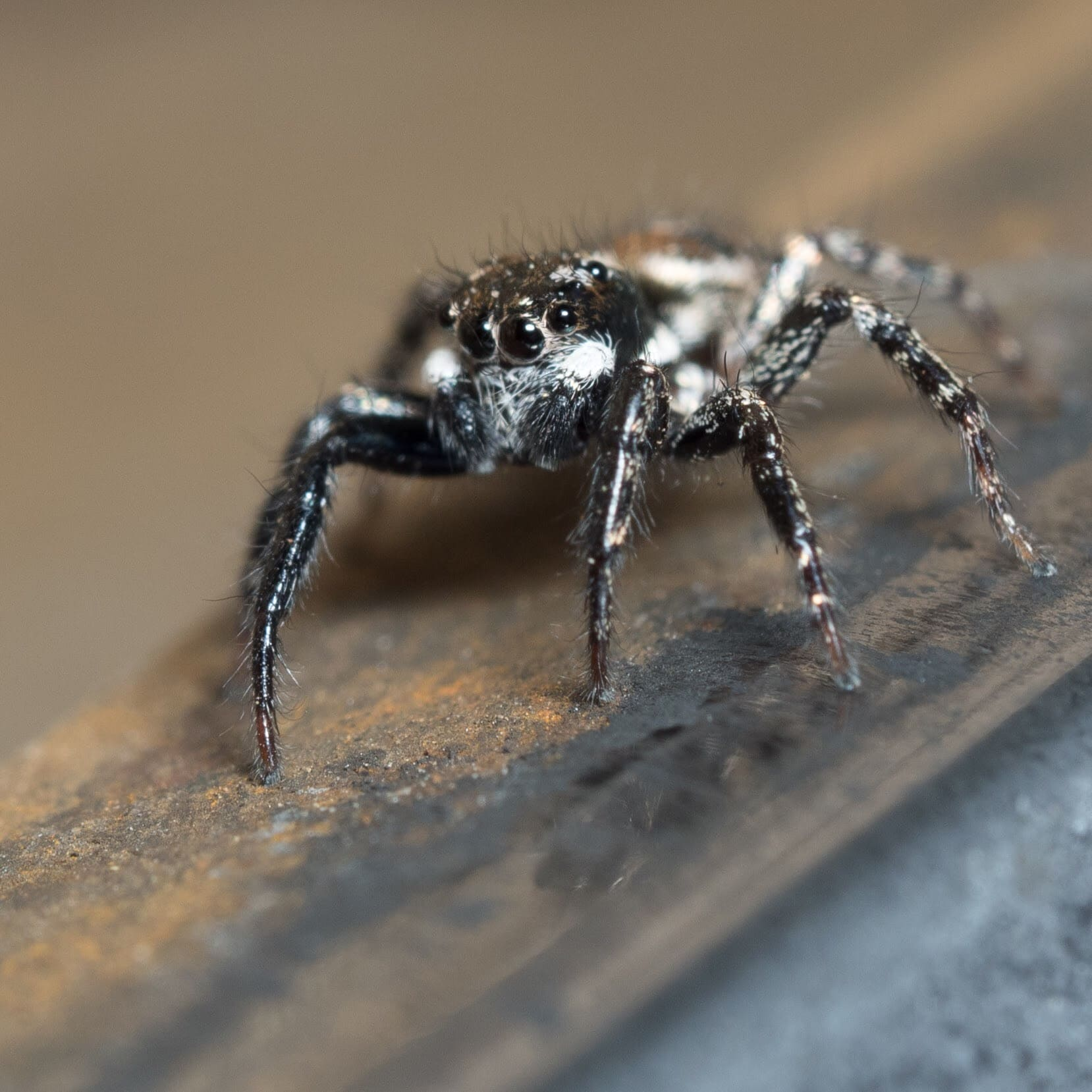 Picture of Anasaitis canosa (Twin-flagged Jumping Spider) - Eyes