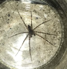 Picture of Dolomedes tenebrosus (Dark Fishing Spider) - Male - Dorsal