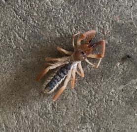 Picture of unidentified spider - Dorsal