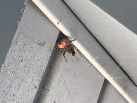 Picture of Araneus diadematus (Cross Orb-weaver) - Dorsal,Webs,Prey