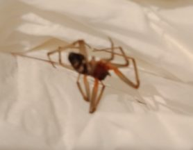 Picture of Steatoda spp. (False Widows) - Lateral