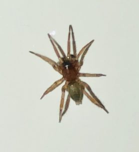 Picture of Gnaphosidae (Stealthy Ground Spiders) - Dorsal