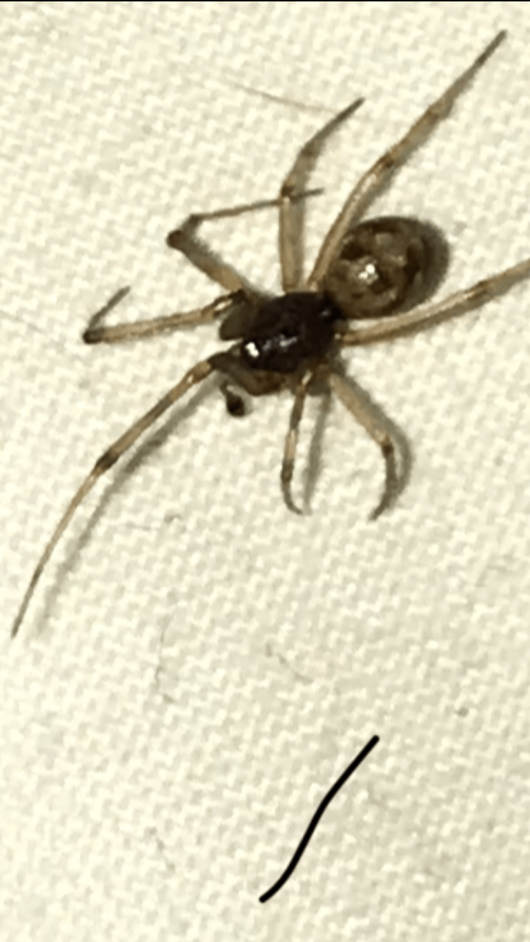Picture of Steatoda triangulosa (Triangulate Cobweb Spider) - Male - Dorsal