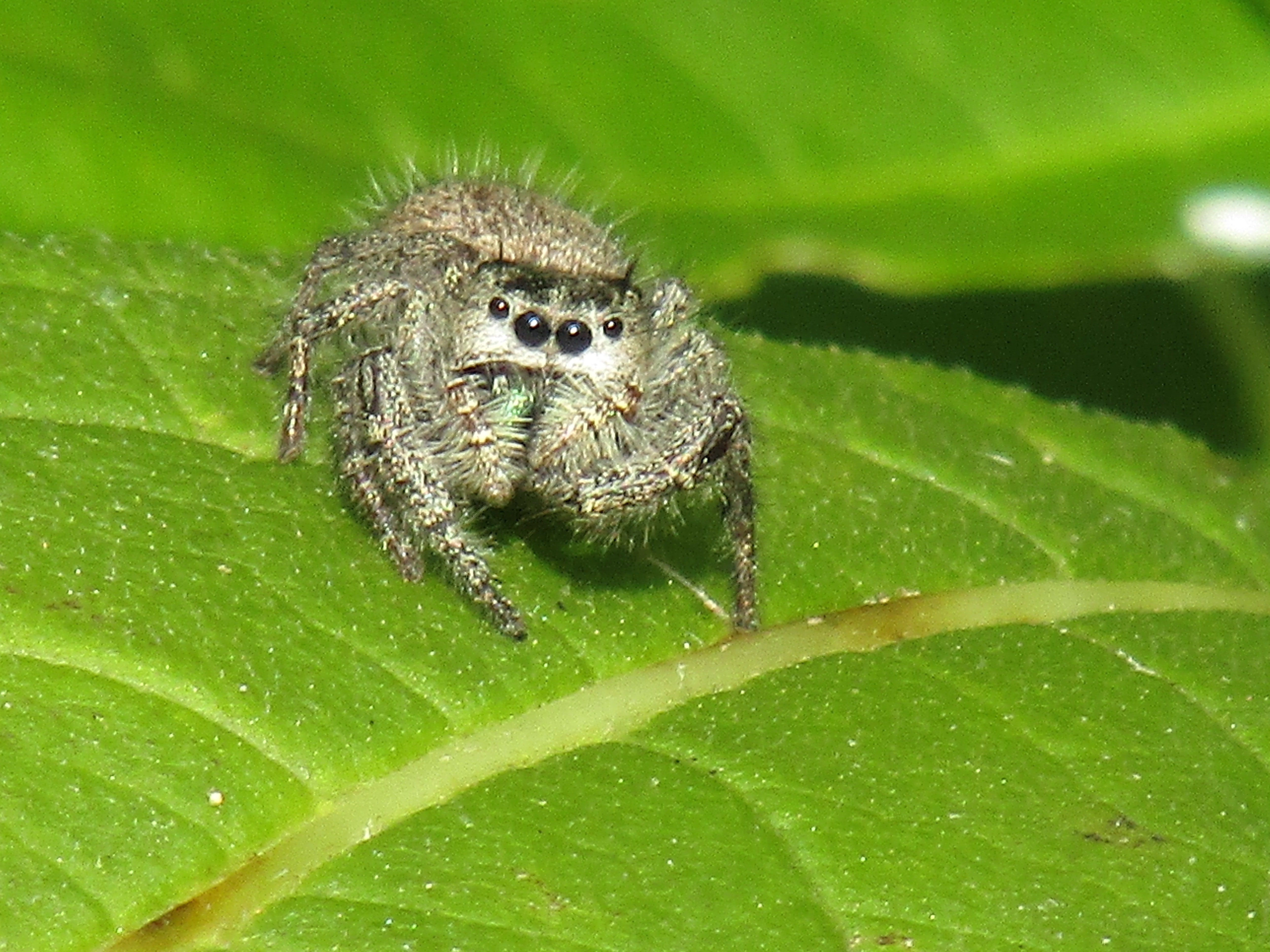 Picture of Phidippus princeps - Eyes