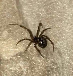 Picture of Steatoda triangulosa (Triangulate Cobweb Spider) - Lateral