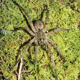 Featured spider picture of Tigrosa aspersa (Tiger Wolf Spider)