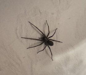 Picture of Eratigena duellica (Giant House Spider)