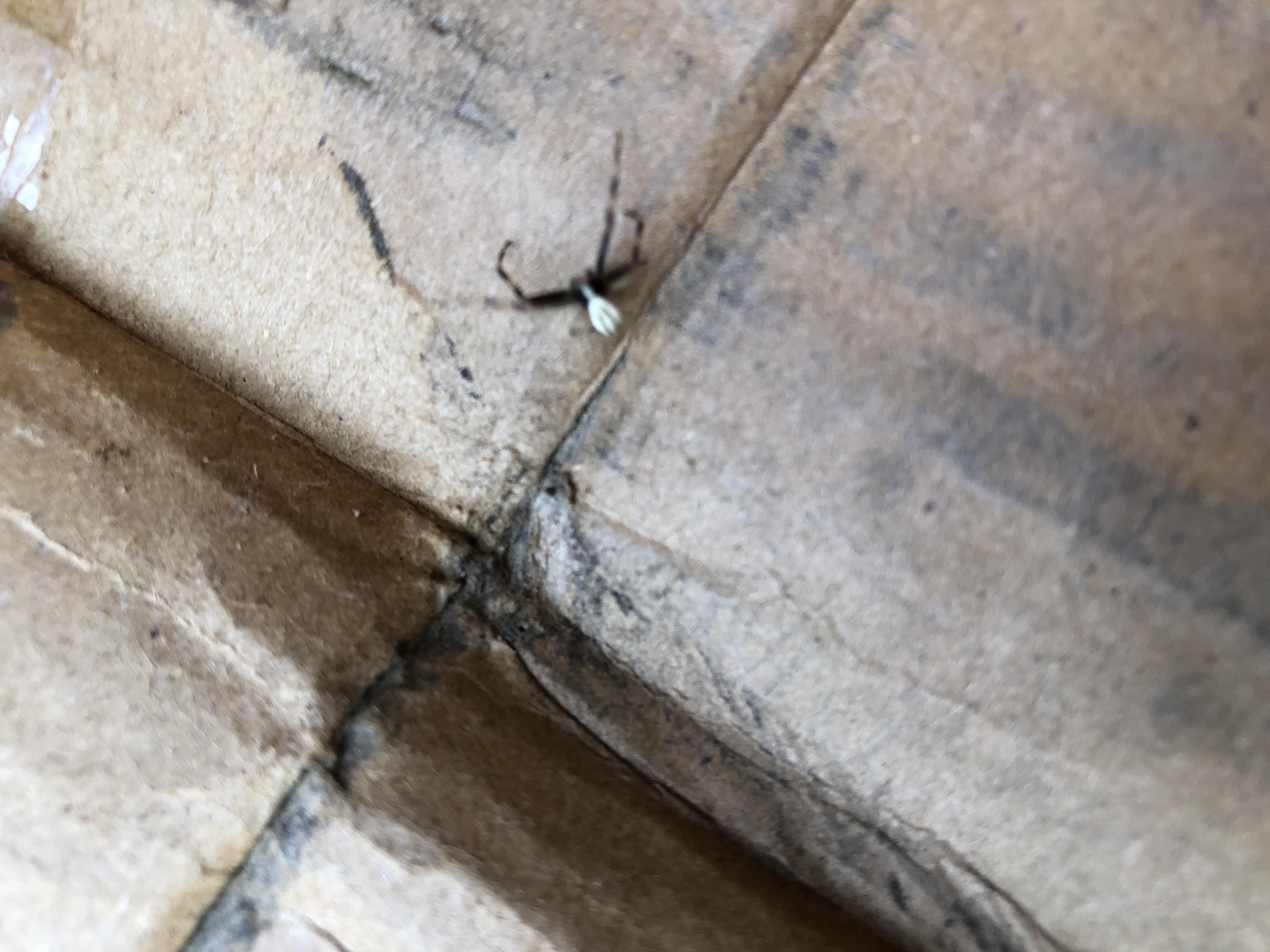 Picture of Misumena vatia (Golden-rod Crab Spider) - Male - Dorsal