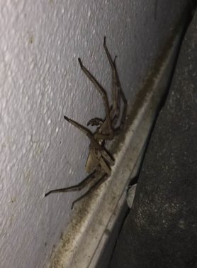 Picture of Heteropoda venatoria (Huntsman Spider) - Male - Lateral
