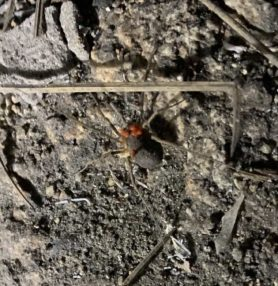 Picture of unidentified spider - Dorsal,Parasite