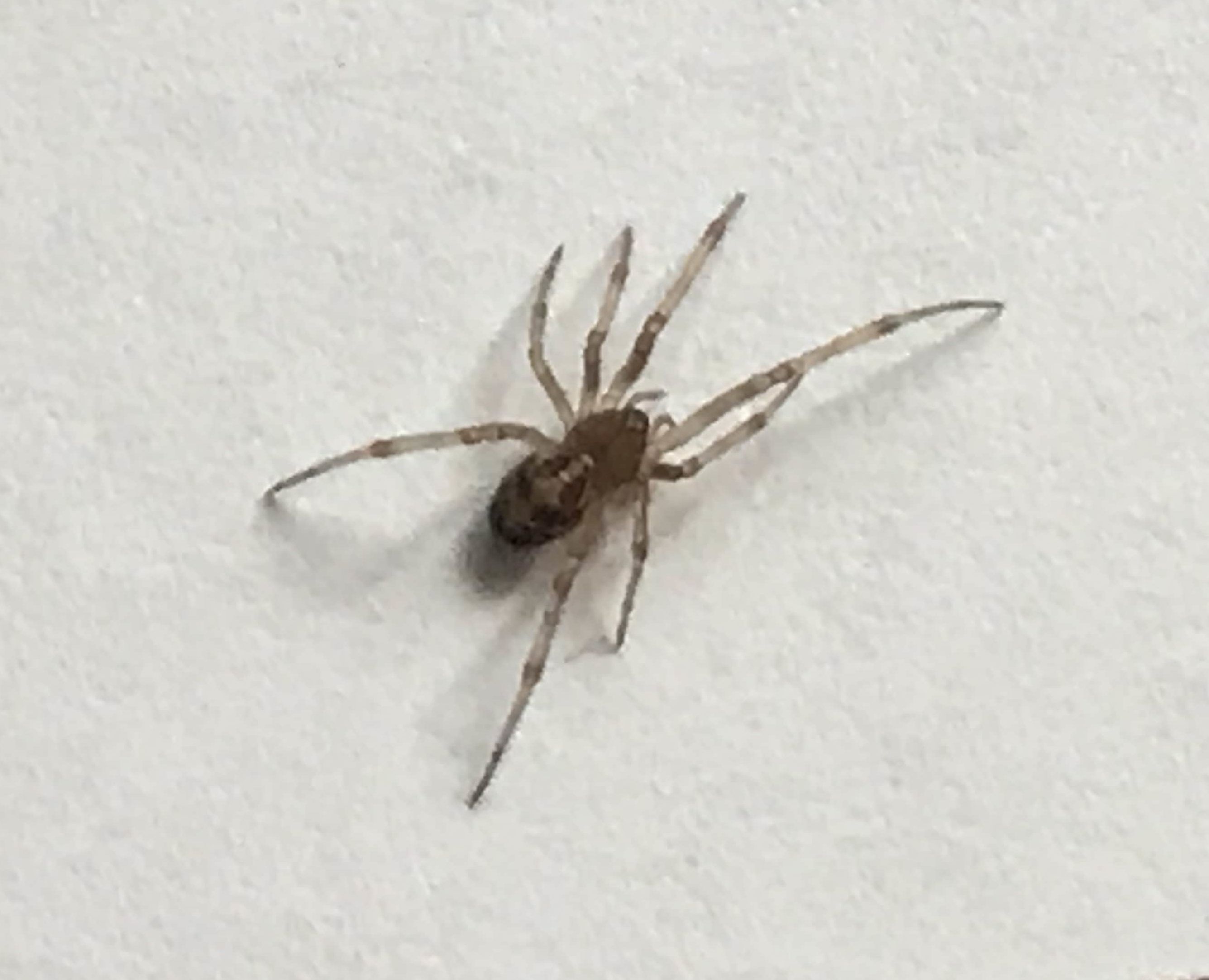 Picture of Steatoda triangulosa (Triangulate Cobweb Spider) - Dorsal