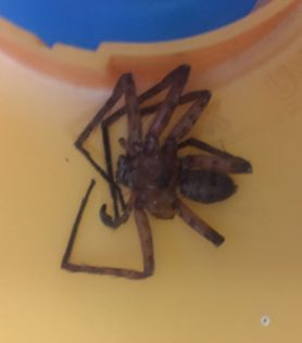 Picture of Sparassidae (Giant Crab Spiders) - Male - Dorsal