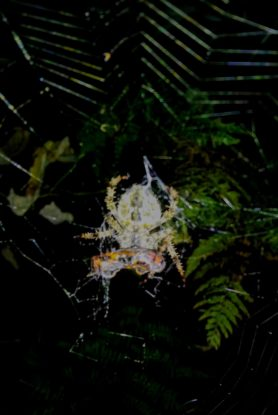 Picture of Araneus spp. (Angulate & Round-shouldered Orb-weavers) - Ventral,Prey