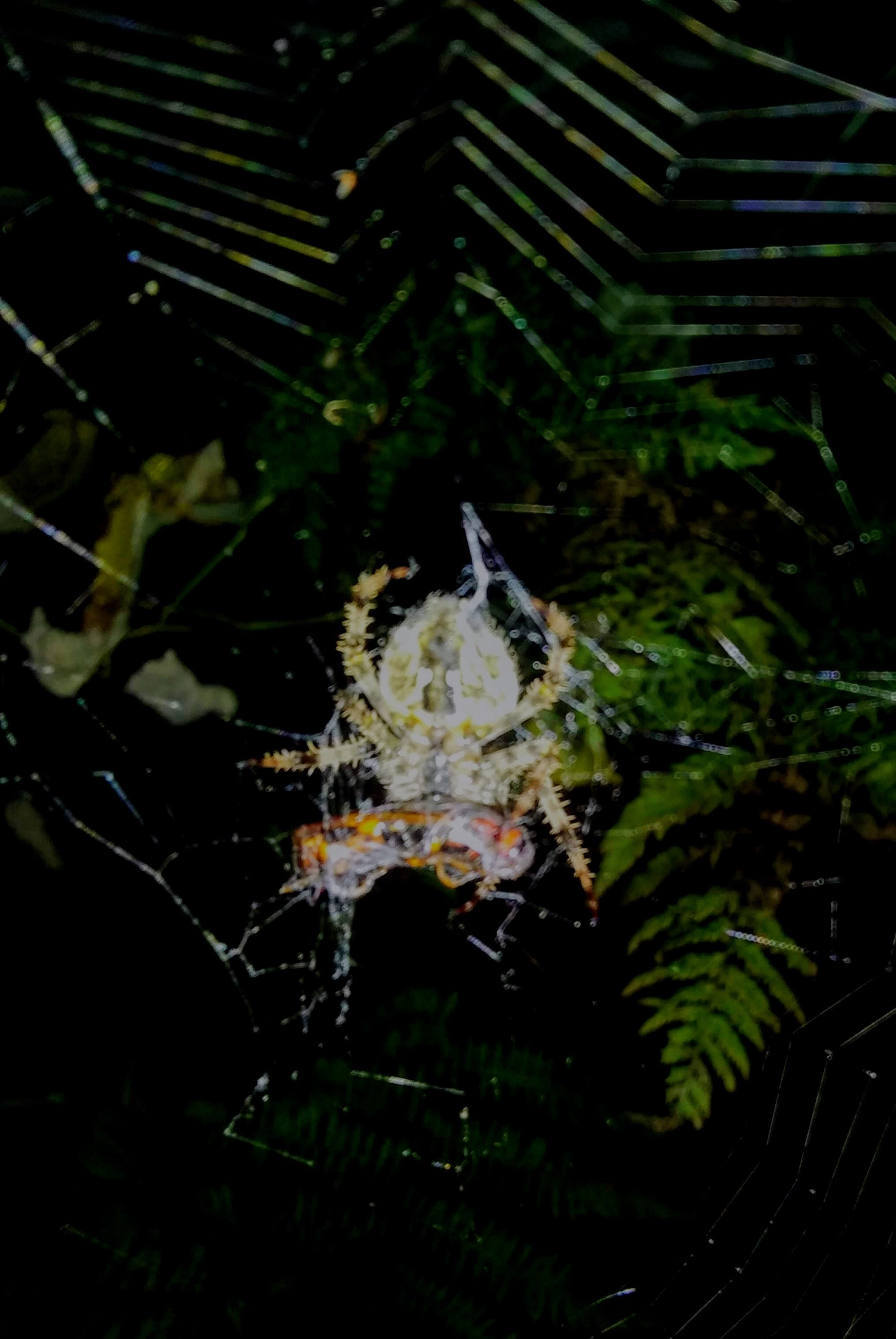 Picture of Araneus (Angulate & Round-shouldered Orb-weavers) - Ventral,Prey