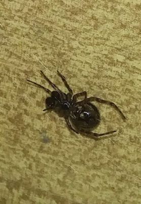 Picture of Steatoda borealis - Male - Penultimate,Ventral