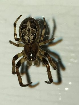 Picture of Larinioides cornutus (Furrow Orb-weaver) - Male - Dorsal,Penultimate