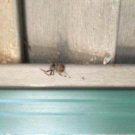 Picture of Neoscona spp. (Spotted Orb-weavers) - Dorsal