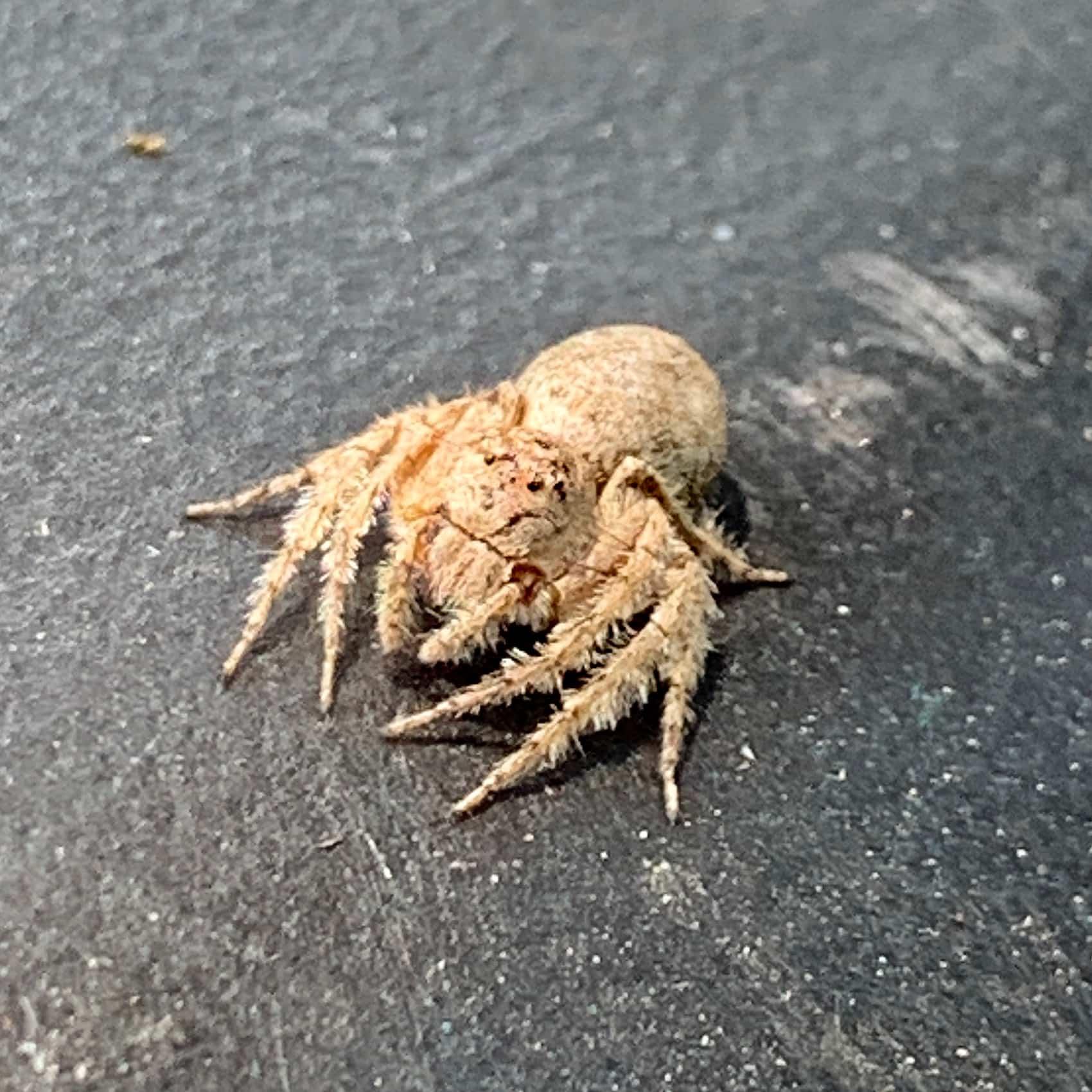 Picture of Hamataliwa grisea - Dorsal
