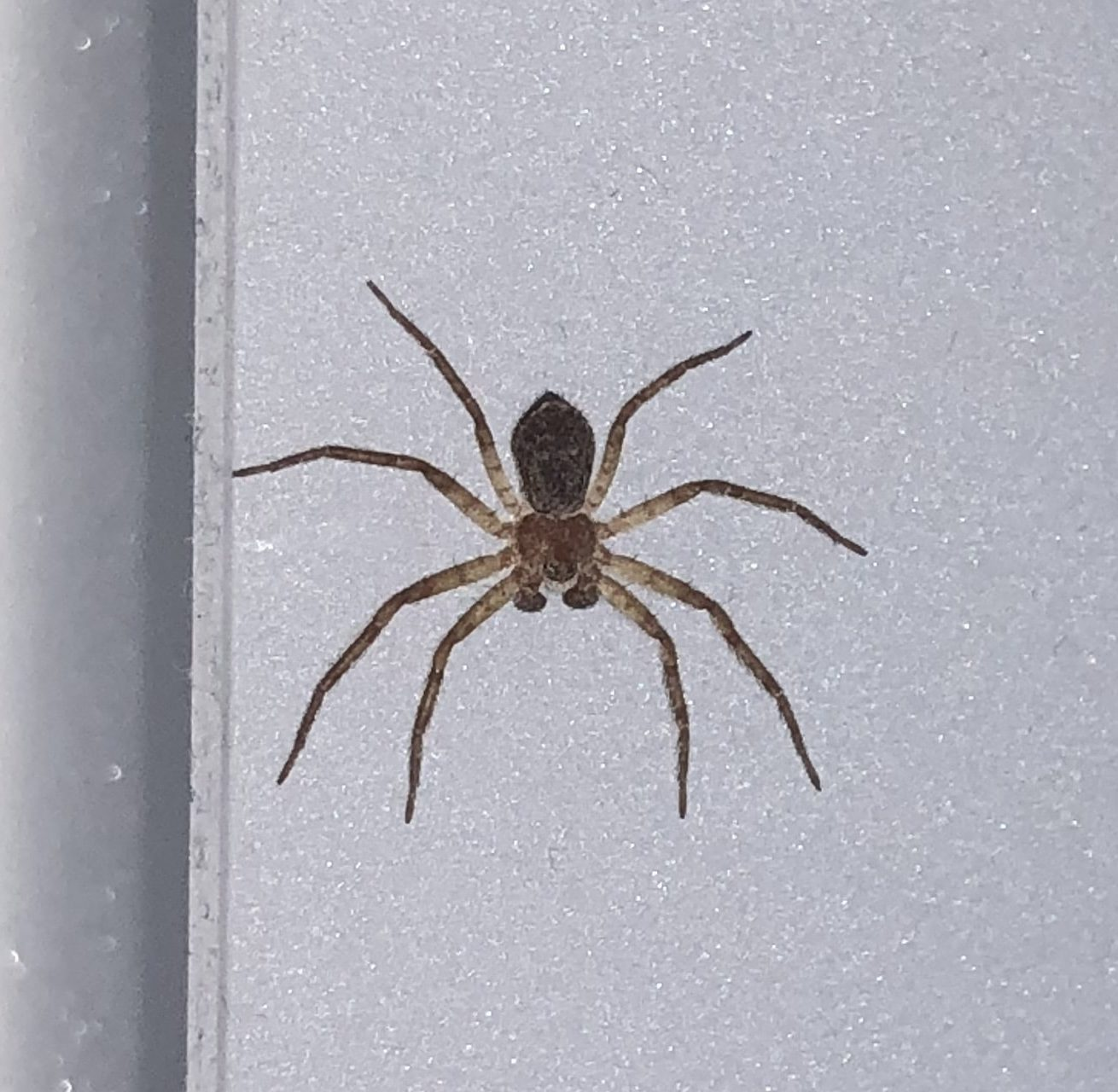 Picture of Philodromus - Male - Dorsal