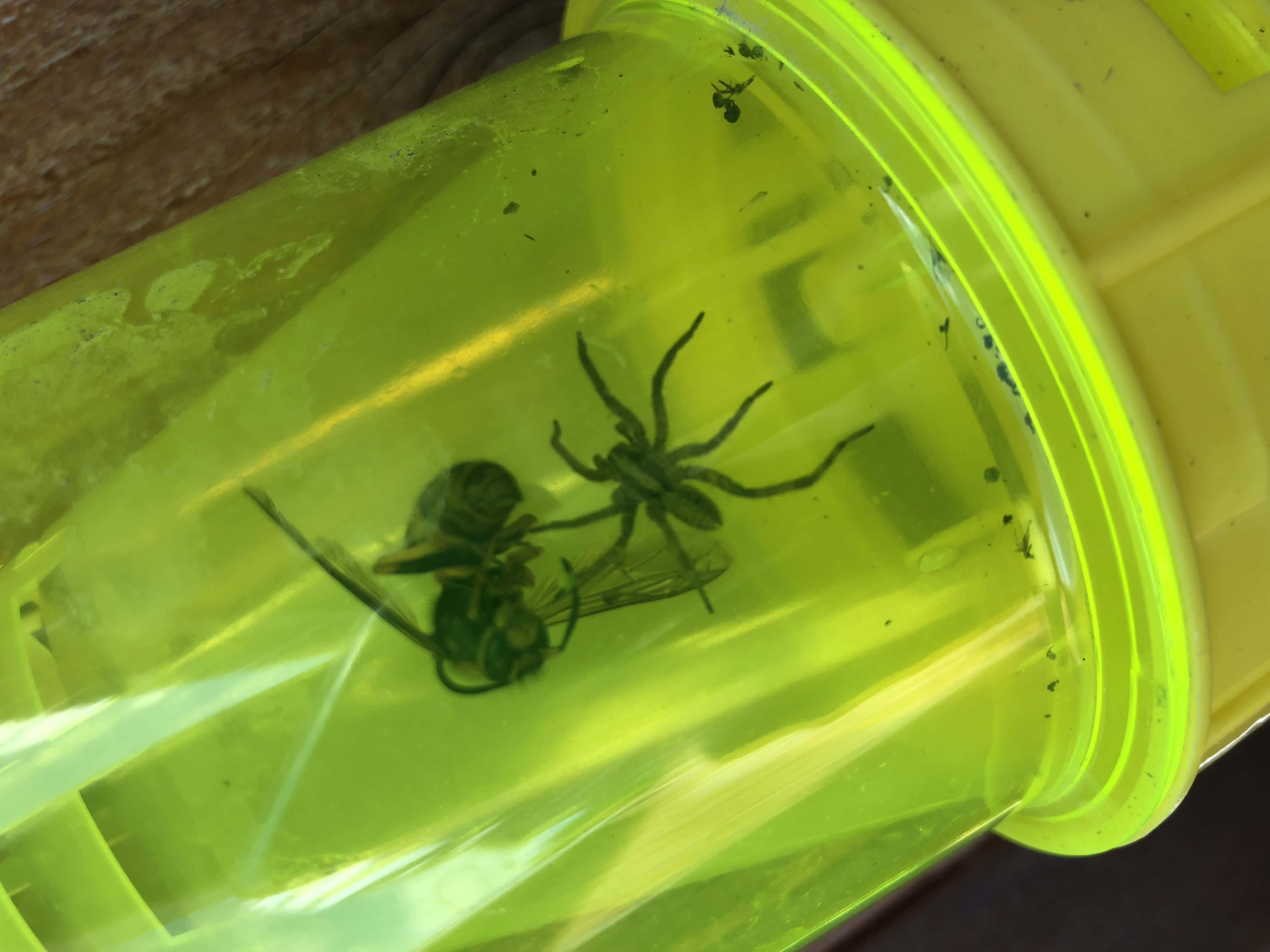 Picture of Schizocosa (Lanceolate Wolf Spiders) - Dorsal