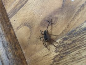 Picture of Lycosidae (Wolf Spiders) - Male - Lateral