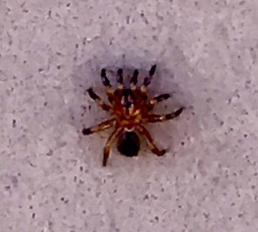 Picture of Ummidia - Dorsal,Spiderlings