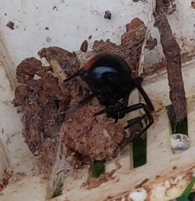 Picture of Latrodectus spp. (Widow Spiders) - Lateral