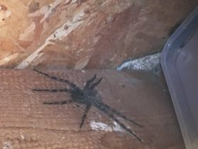 Picture of Dolomedes tenebrosus (Dark Fishing Spider)