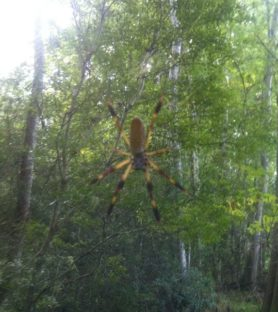 Picture of Nephila clavipes (Golden Silk Orb-weaver) - Female - Dorsal