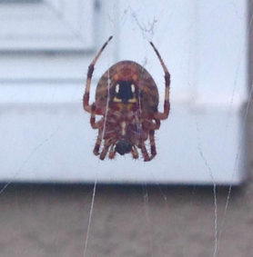 Picture of Neoscona spp. (Spotted Orb-weavers) - Female - Ventral,Webs