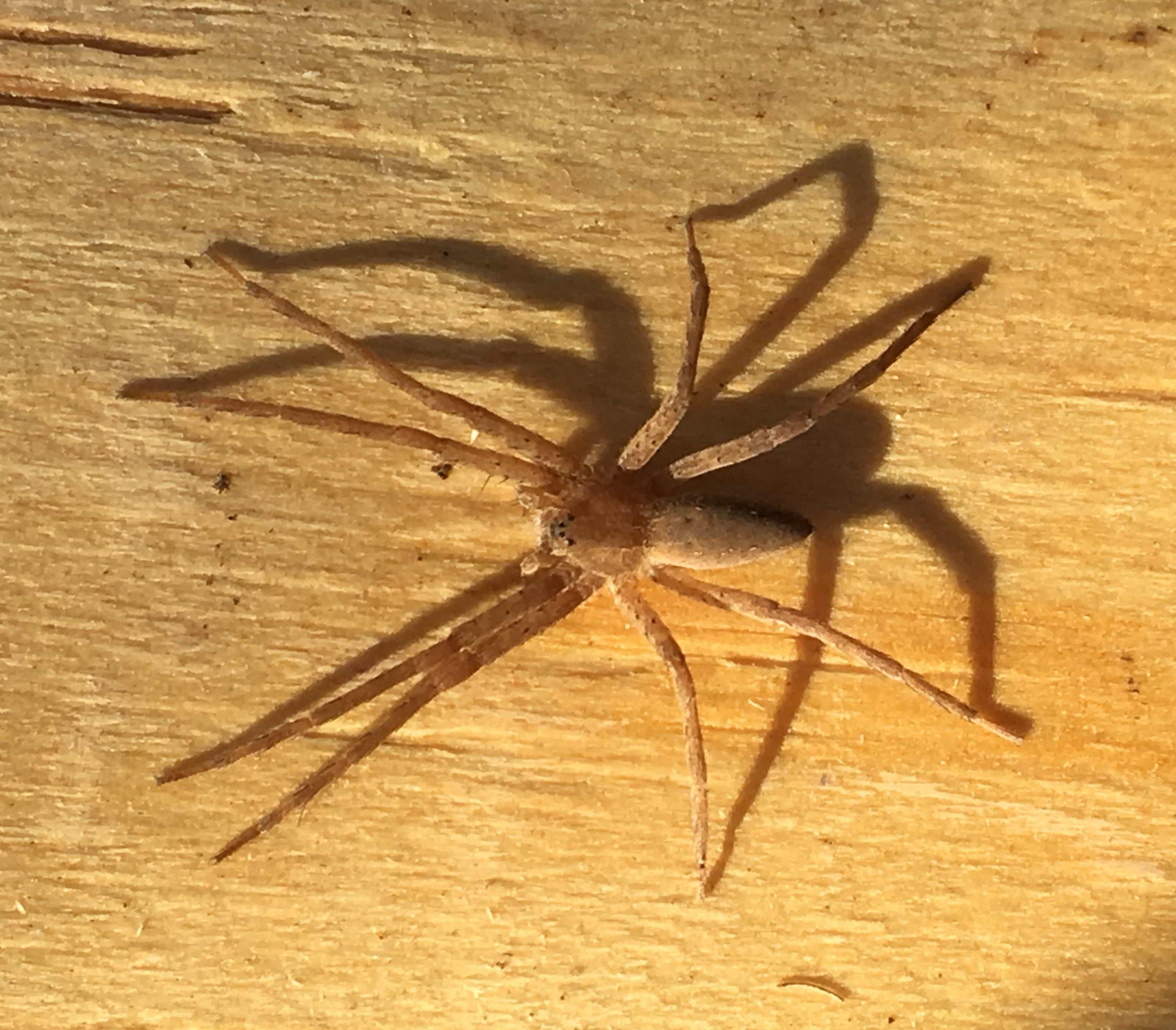 Picture of Pisaurina mira (Nursery Web Spider) - Dorsal