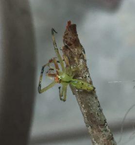 Picture of Lyssomanes viridis (Magnolia Green Jumper) - Male - Dorsal
