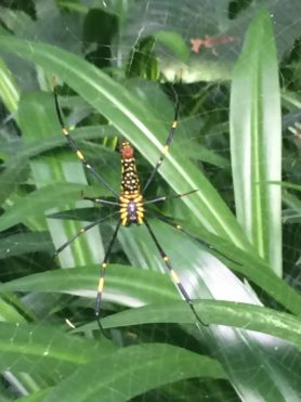 Picture of Nephila pilipes (Giant Golden Orb-weaver) - Female - Ventral,Webs