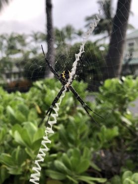 Picture of Argiope appensa (Hawaiian Garden Spider) - Female - Ventral,Webs