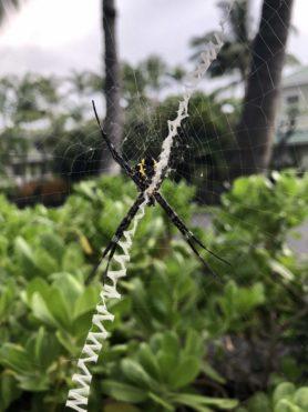 Picture of Argiope appensa (Hawaiian Garden Spider) - Female - Ventral,Webs