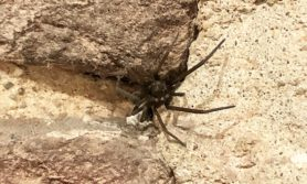 Picture of Kukulcania hibernalis (Southern House Spider) - Female