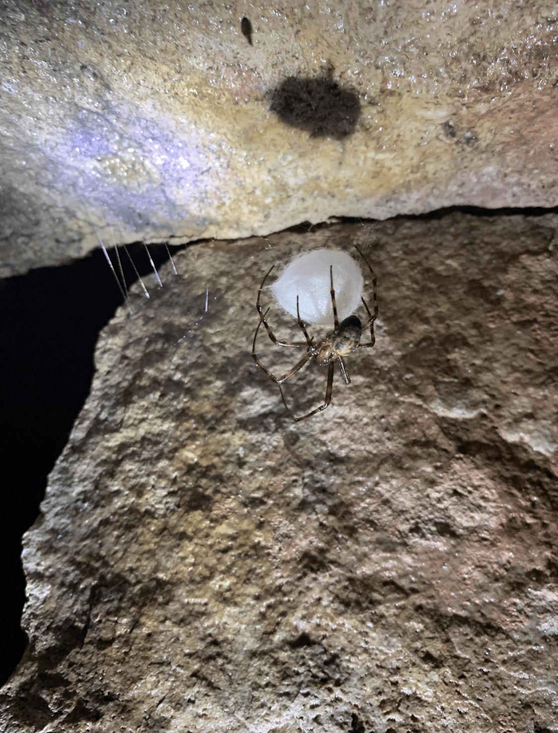 Picture of Meta ovalis (Cave Orb-weaver) - Female - Dorsal,Egg sacs,Webs