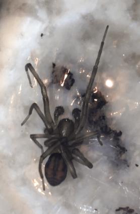 Picture of Callobius spp. - Male - Dorsal