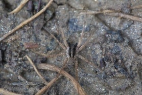 Picture of Pardosa spp. (Thin-legged Wolf Spiders) - Male