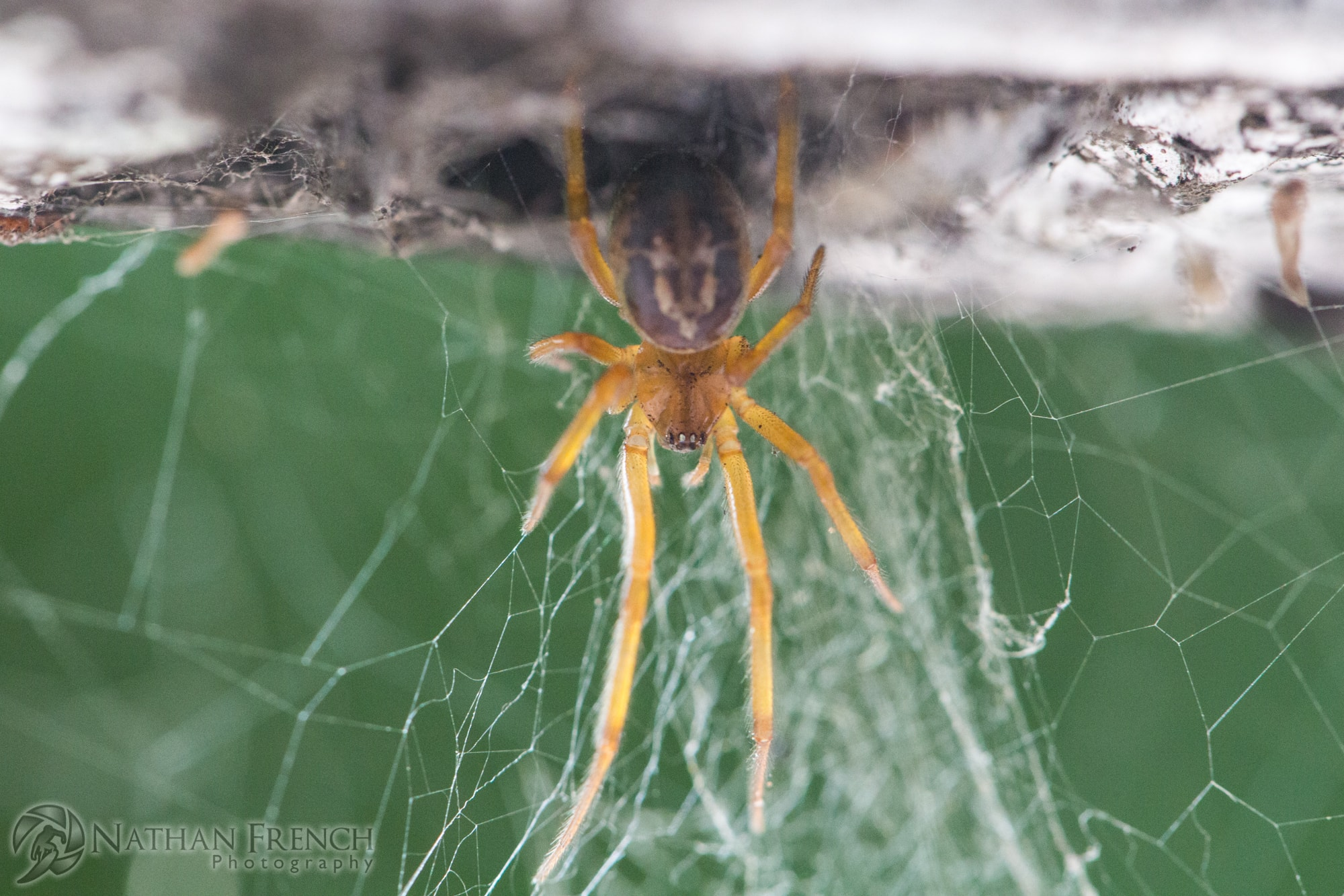 Picture of Steatoda nobilis (Noble False Widow) - Dorsal,Eyes,Webs