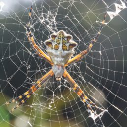 Featured spider picture of Argiope argentata (Silver Garden Spider)